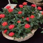 Комнантные розы требовательны к уходу