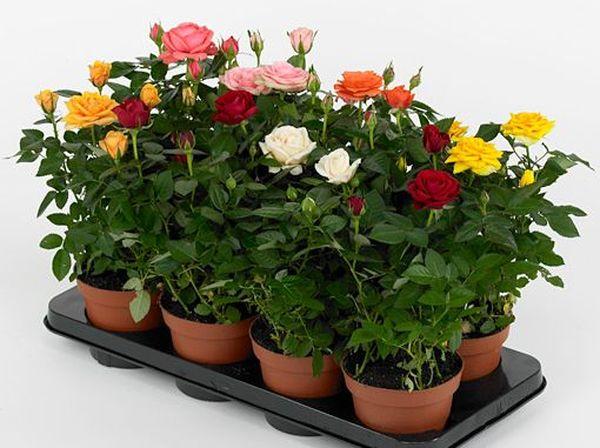 Миниатюрные цветущие розы в горшках