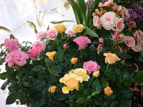 Домашние розы очень светолюбивы
