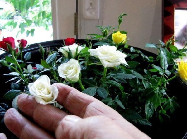 Оптимальной температурой в период цветения считается 22–25 °C
