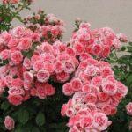 Роза Флорибунда - украшение сада