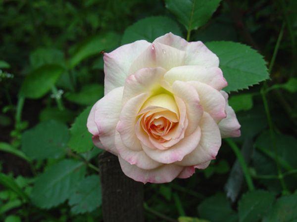 Роза Флорибунда –шикарный цветок