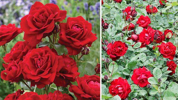 Сорт розы Лилли Марлен