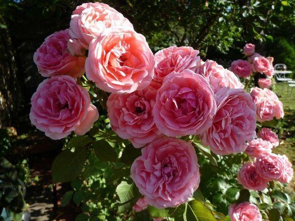Сорт Диадем популярен из-за обильного цветения