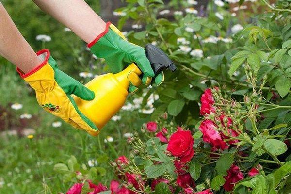 Розы нужно обрабатывать от вредителей