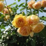 Роза – настоящее украшение любого сада