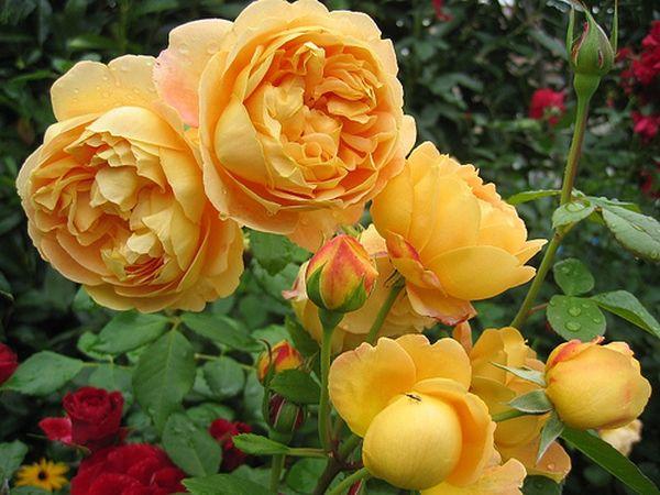 Роза Голден Селебрейшн – одна из самых популярных