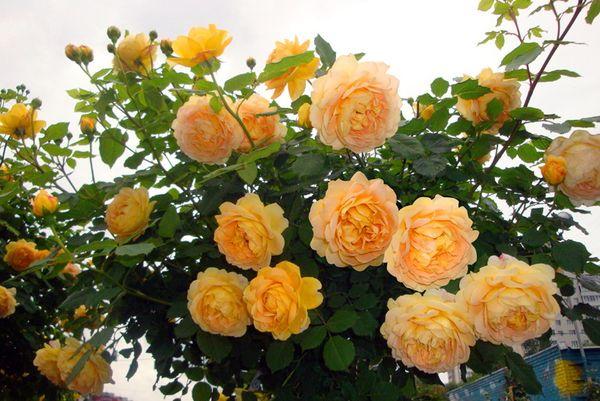 Поливают розу обычно два раза в неделю