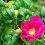 Розу часто путают с шиповником