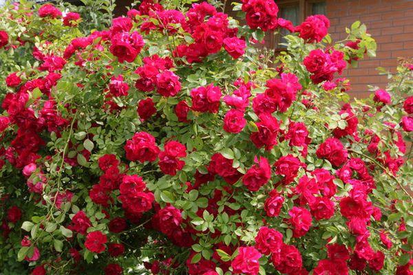 Роза и шиповник относятся к семейству Розоцветны