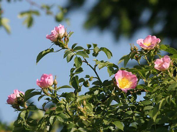 Для шиповника характерен светло-розовый цвет