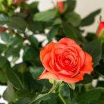 Розу Кордана можно содержать дома в горшке