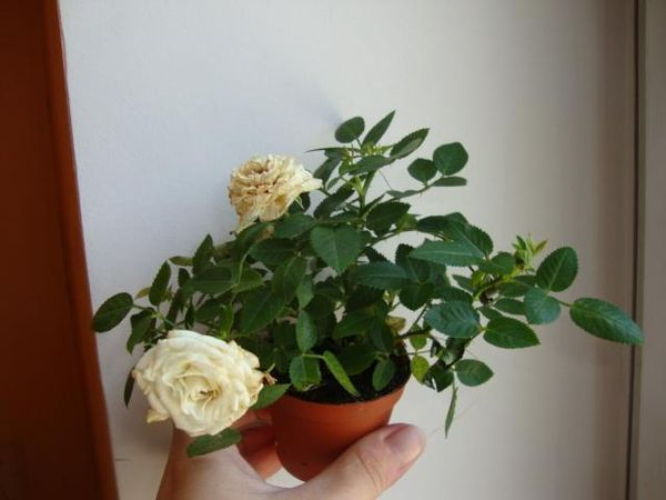 Важно обеспечить цветку хорошее освещение