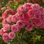 Кустовая роза очень популярна среди садоводов
