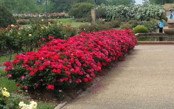 Роза – лидер среди других цветущих растений