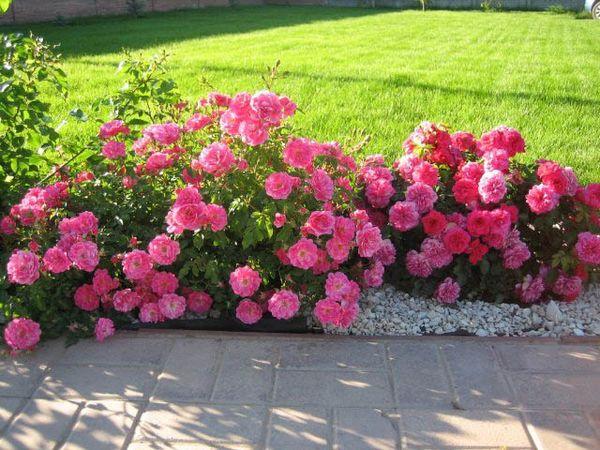 Оформление розами бордюра украсит сад