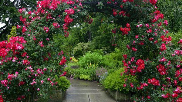 Арку также можно украсить плетущимися розами
