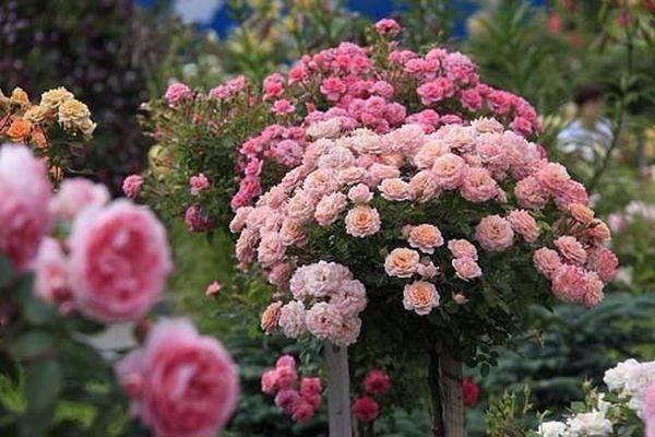 Розы можно использовать в любом дизайне в саду