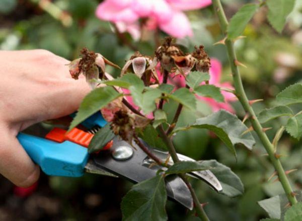 Обрезать розу нужно острым инструментом