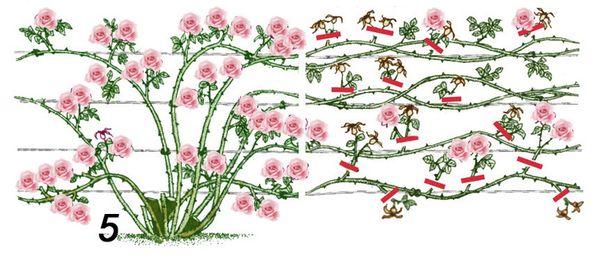 Правильная обрезка садовых роз
