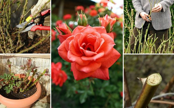 Весной нужно заниматься обрезкой роз