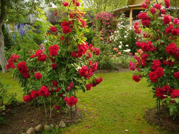 Куст розы нужно подготовить к пересадке