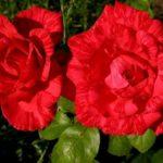 Ред Интуишн– разновидность чайно-гибридной розы