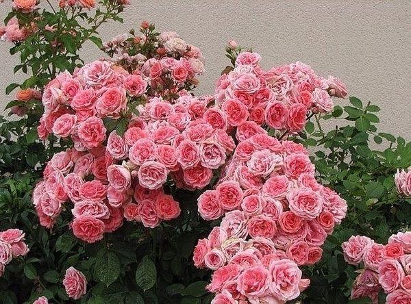 Пионовидные розы очень популярны среди садоводов
