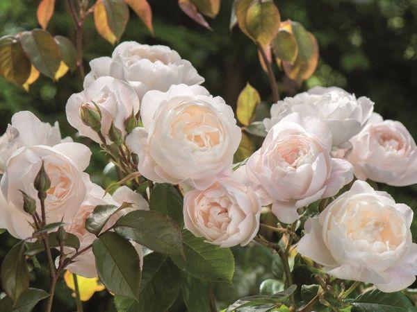 Популярный сорт роз Desdemona