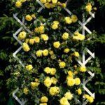Плетистые розы очень популярны