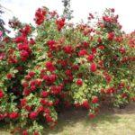 Плетистая роза - украшение сада