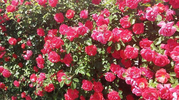 Плетистая роза создает непередаваемую атмосферу на участке