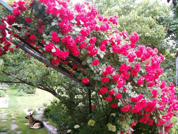 Эти розы часто используются для украшения садовых изгородей