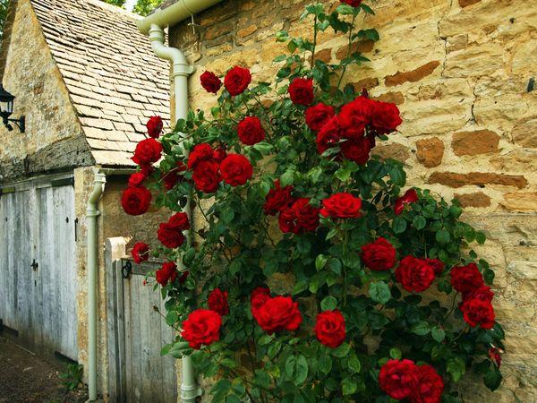 Плетистные розы хорошо переносят холода