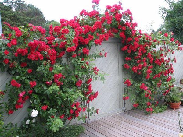 Полуплетистые розы являются самыми неприхотливыми