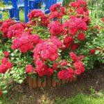 Почвопокровные розы - украшение сада