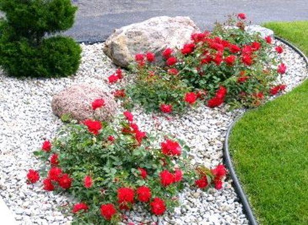 Использование почвопокровных роз в ландшафтном дизайне