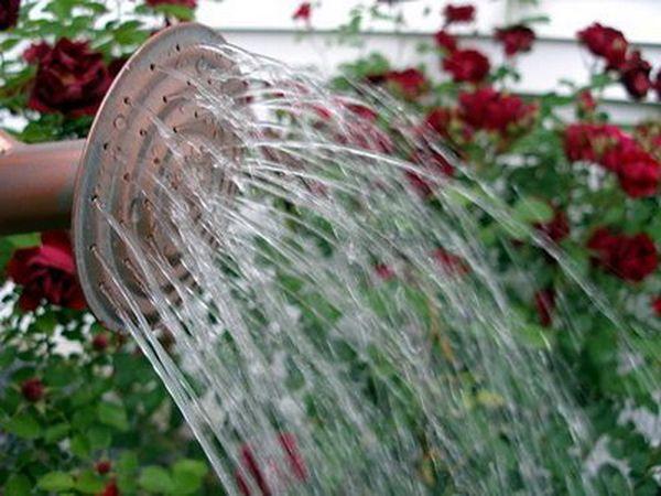 Воду для полива обязательно отстаивайте