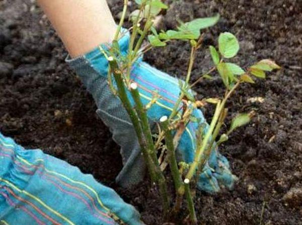Посадка роз веснойвыполняется после прогрева почвы