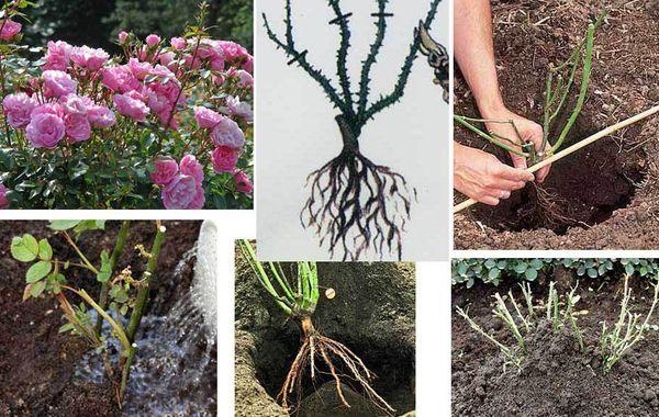 Почву нужно подготовить к посадке цветка