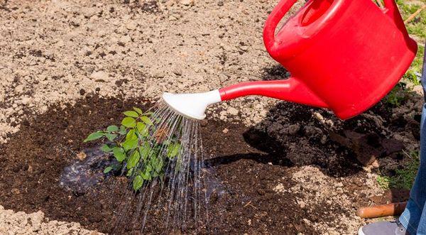 После посадки растение нужно обильно полить