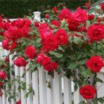 Розу можно вырастить из китайских семян