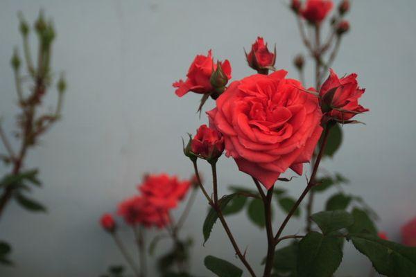 Световой день розы должен длиться не менее 12 часов