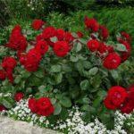 Роза может превратиться в шиповник