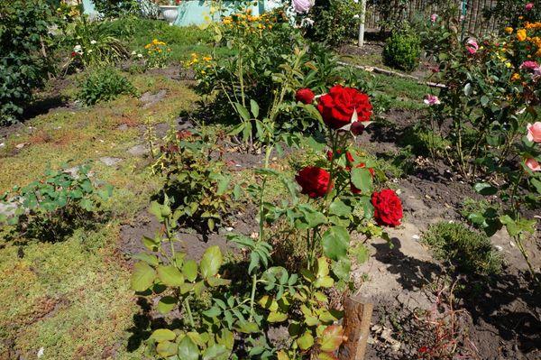 Садоваяроза– одно из самых красивых растений