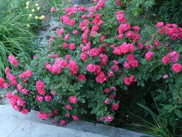 Роза менее устойчива шиповника к заболеваниям