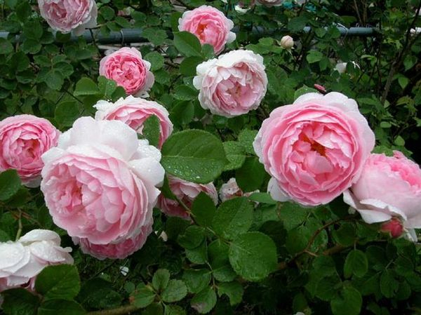 Правильный уход за розой защитит ее от превращения в шиповник