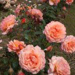 «Бельведер»–один из наиболее устойчивых сортов роз