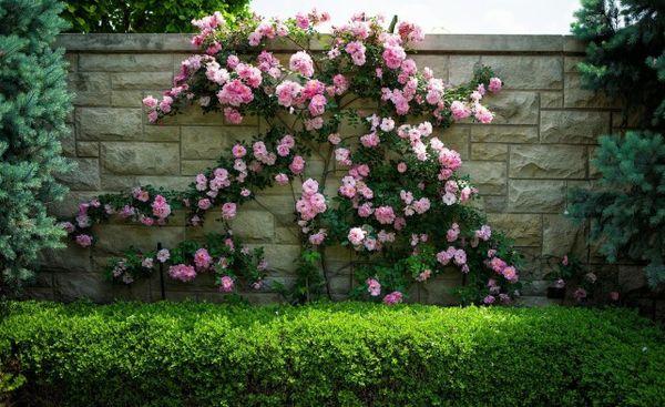 Розы-штрабы долго цветут