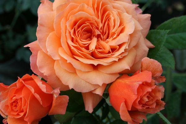 Разновидность бельведер цветет очаровательными розовыми бутонами
